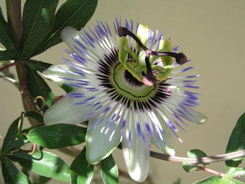 Passiflora caerula