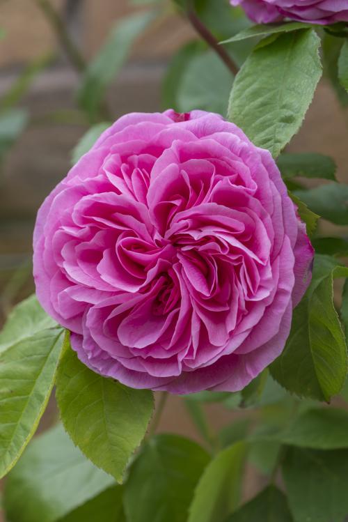 3_Rosa 'Gertrude Jekyll'_15A3985